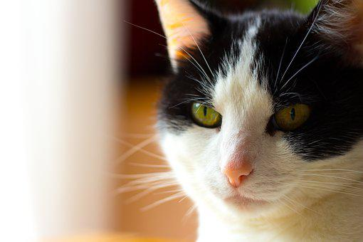 Cat, Animals, Cat's Eyes, Portrait