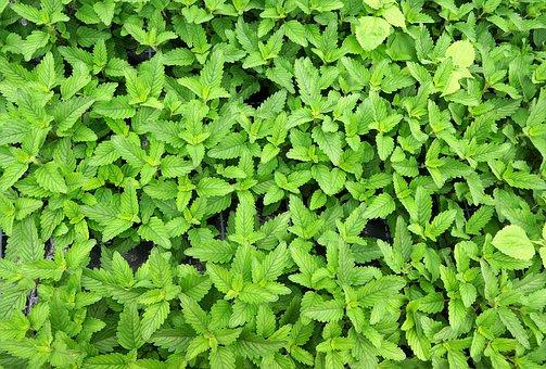 Caryopteris Pagoda, Green, Organic, Bio, Plant, Mint