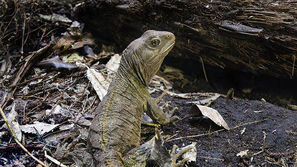 Lizard, Iguana, Reptile, Wild Animal, Creature, Nature