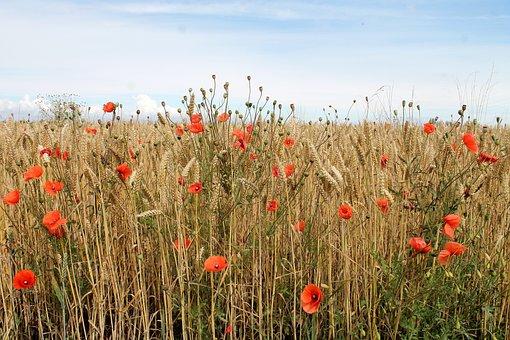 Grain, Mark, Denmark, Summer, Corn Field, Natural, Crop