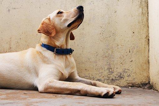 Dog, Labrador, Pet, Animal, Cute, Pedigree, Brown