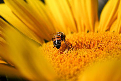 Bee, Sunflower, Yellow, Nature, Flower, Summer, Plant
