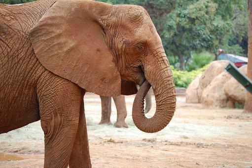 Elephant, Head, Trunk, Tusk, Wildlife, Zoo, Animal