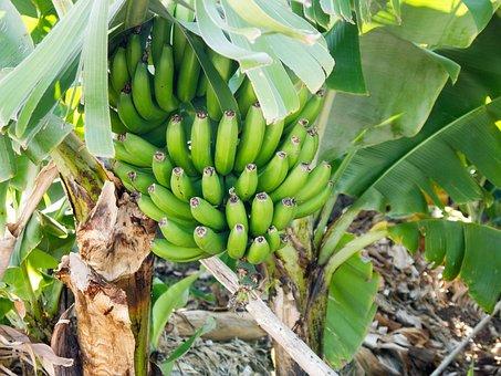 Bananas, Green, Immature, Banana Shrub, Banana Tree