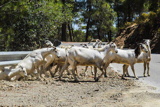 Goats, Forest, Road, Nature, Animal, Rural, Livestock