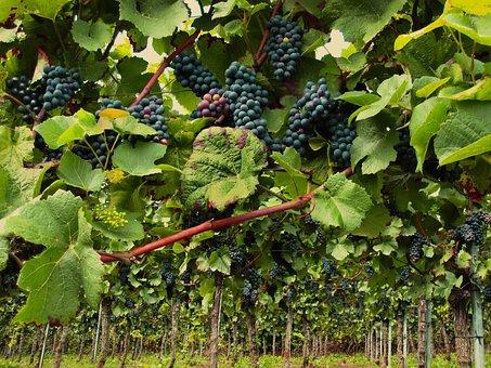 Vines, Pinot Noir, Grapevine, Wine, Grapes, Vineyard