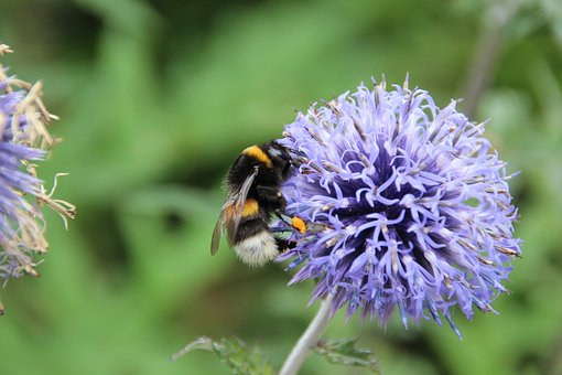 Hummel, Insect, Pollination, Nectar, Purple Flower