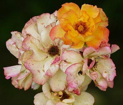 Rose, Shrub Rose, Blossom, Bloom, Multi Coloured, Plant