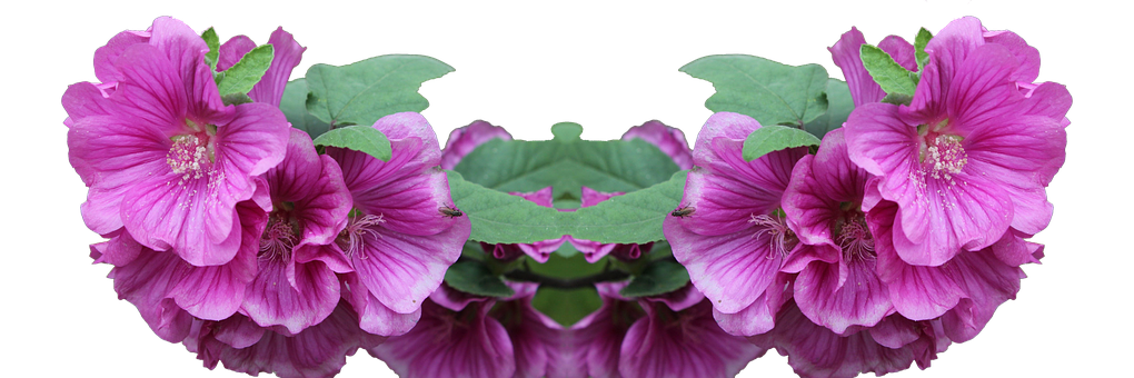 Lavatera, Shrub, Png, Plant, Flower, Pink, Foreground