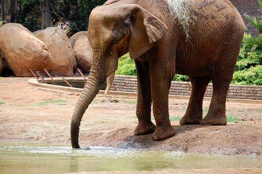 Baby Elephant, Africa, South, Elephant, Wildlife