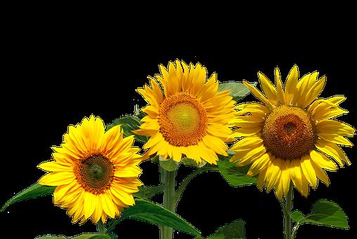 Sunflower, Summer, Late Summer, Nature, Flowers, Garden