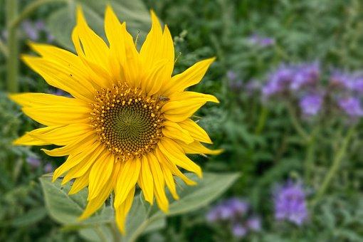 Sun Flower, Blossom, Bloom, Yellow, Flower, Plant