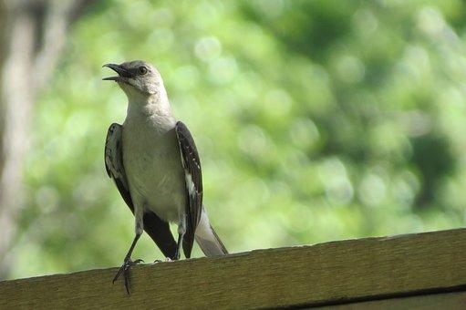 Bird, Song Bird, Mocking Bird, Wildlife