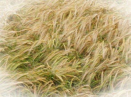 Barley, Agriculture, Yellow, Grain, Harvest, Cereal