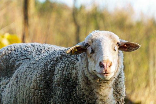 Sheep, Sun, Animals, Nature, Schäfchen