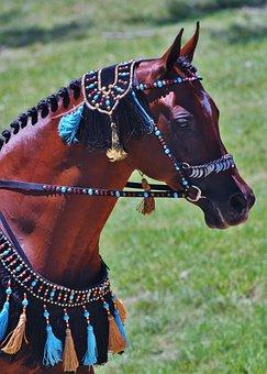 Arabian, Arabian Horses, Horses, Horse, Bay, Gelding