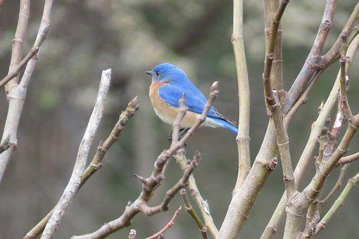 Bird, Blue, Nature, Wildlife, Songbird, Eastern, Avian