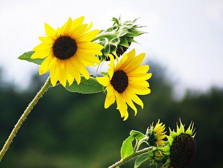 Flowers, Sunflowers, Field, Nature, Blooming Sunflower