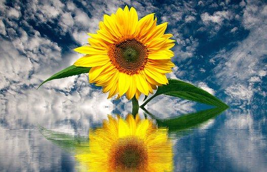Sun Flower, Summer, Sunflower, Yellow, Plant, Blossom
