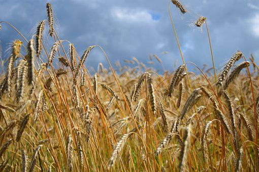Field, Barley Field, Cereals, Agriculture, Nature