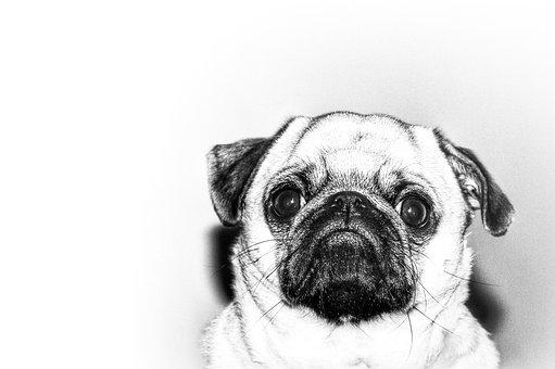 Pug, Dog, Pet, Animal, Cute, Puppy, Funny, Adorable