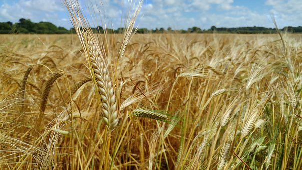 Wheat, Cereal, Agriculture, Farming, Countryside, Field