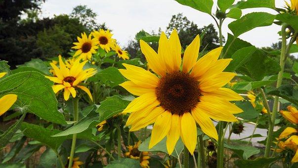 Flora, Plants, Ornamental Sunflower, Flower, Flowering