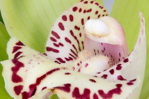 Cymbidium, Orchid, Orchidaceae, Elegant, Flower, Macro