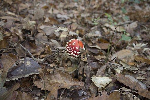 Fungus, Red Mushroom, White, Nature, Poisonous Mushroom