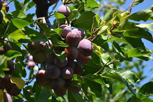 Cultivation, Plums, Organic