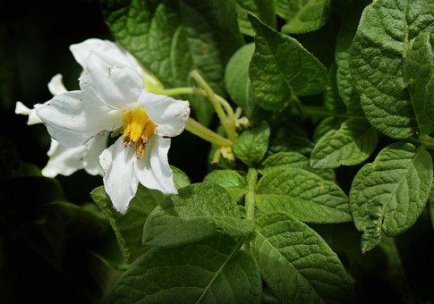 Potato, Blossom, Bloom, Potato Shrub, Potato Blossom