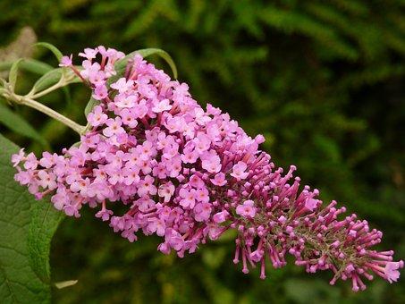 Flower, Shrub, Lilac, Summer, Purple