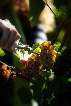 Vineyard, Grapes, Agriculture, Fruit, Farm, Vine, Wine