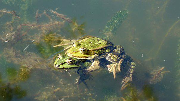 Frog, Frogs, Animals, Amphibians, Green, Green Frog
