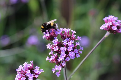 Bumble Bee, Bee, Verbena, Flower, Lilac, Pollinate