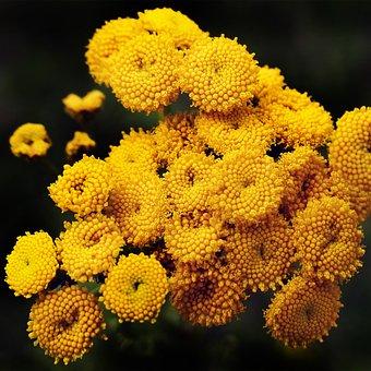 Tansy, Flowers, Heilpfanze, Faerbepflanze