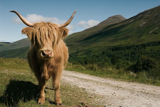 Highland, Cow, Cattle, Mammal, Nature, Animal