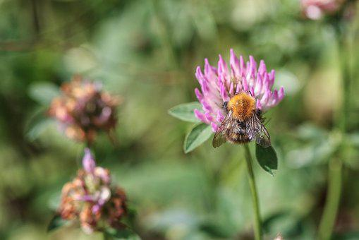 Bumblebee, Insect, Flower, Nature, Macro, Summer