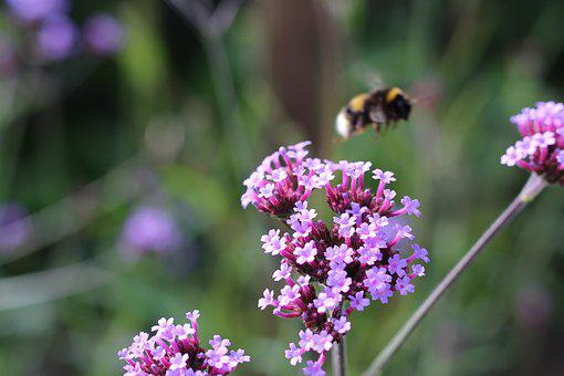 Bumblebee, Bee, Flying, Insect, Nature, Honey, Wild