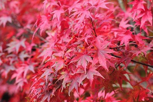 Autumn, Fall, Nature, Season, Red, Leaf, Colorful