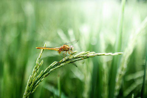 Dragonfly, Grain, Green, Peaceful, Rice, Rice Field