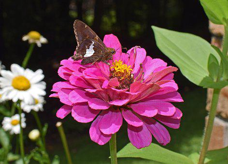 Silver-spotted Skipper On Zinnia, Insect, Pollinator