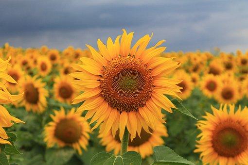 Sunflower, Summer, Seed, Field, Yellow, Plant