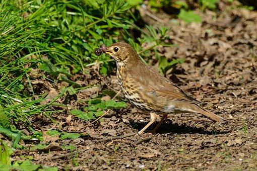 Thrush, Bird, Songbird, Plumage, Beak, Birdwatching