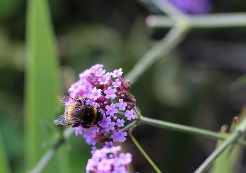 Bumblebee, Bee, Summer, Insect, Nature, Honey, Wild