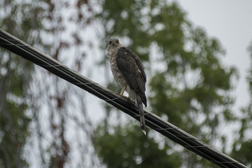 Hawk, Wildlife, Nature
