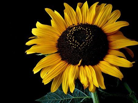 Sunflower, Flower, Yellow, Plant, Outdoors, Garden