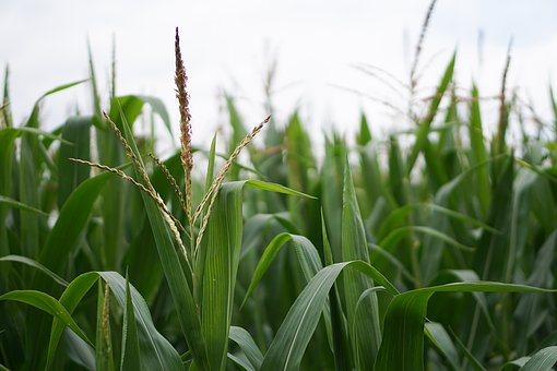 Cornfield, Corn, Corn Cultivation, Agriculture, Field