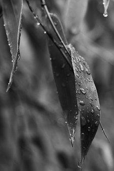 Bamboo, Leaves, Rainy Day, Rain Drops, Black White, Wet
