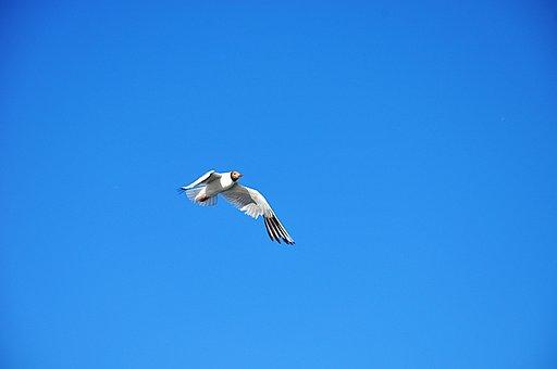 Bird, Sky, Blue, Nature, Animal, Birds, Peace, Seagull